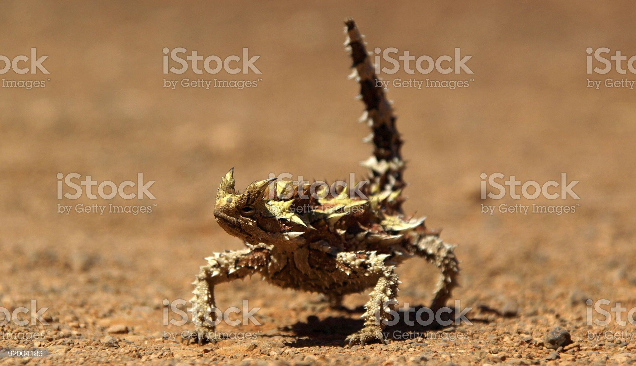 Thorny Devil royalty-free stock photo