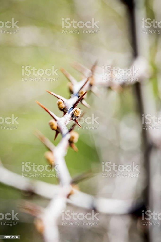 Thorny stem royalty-free stock photo