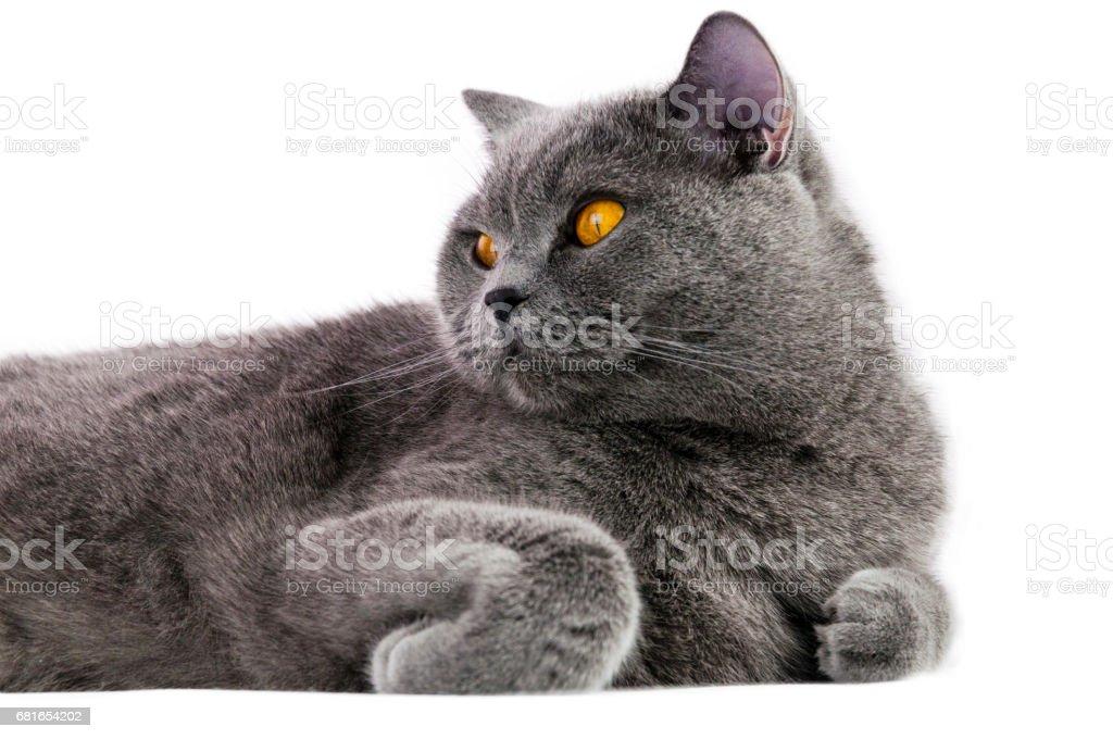 thoroughbred cat stock photo