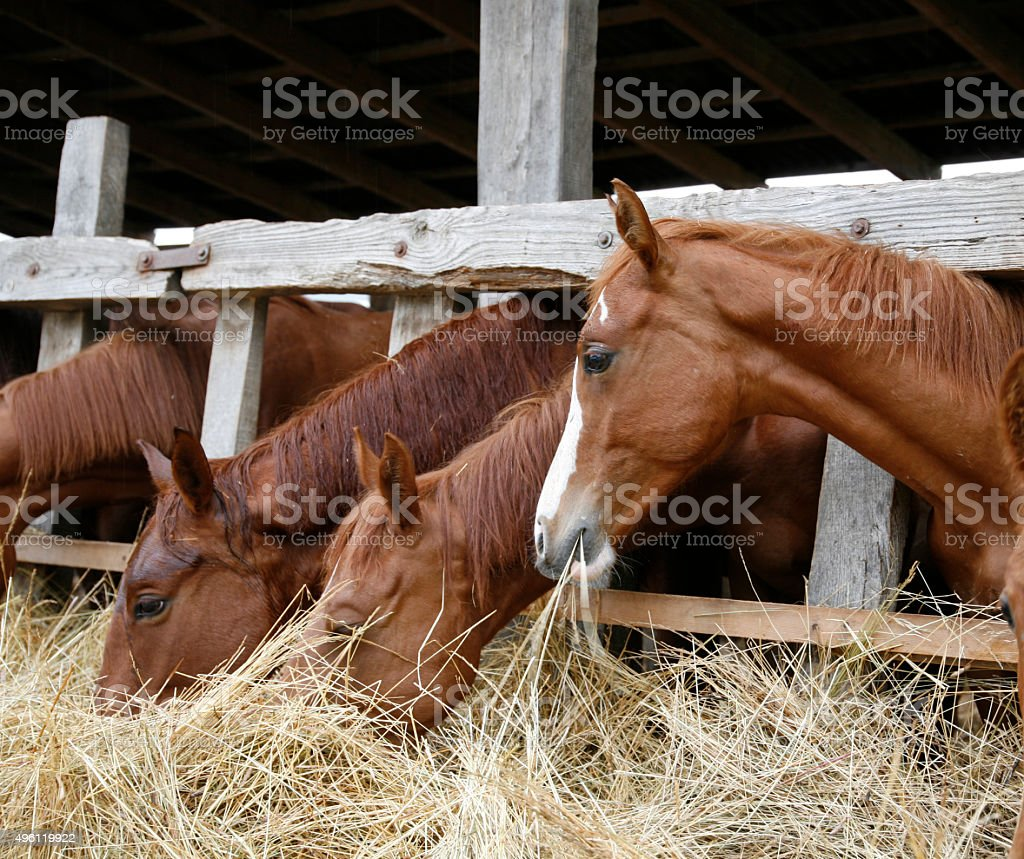 Thoroughbred chestnut horses eating hay in stable stock photo