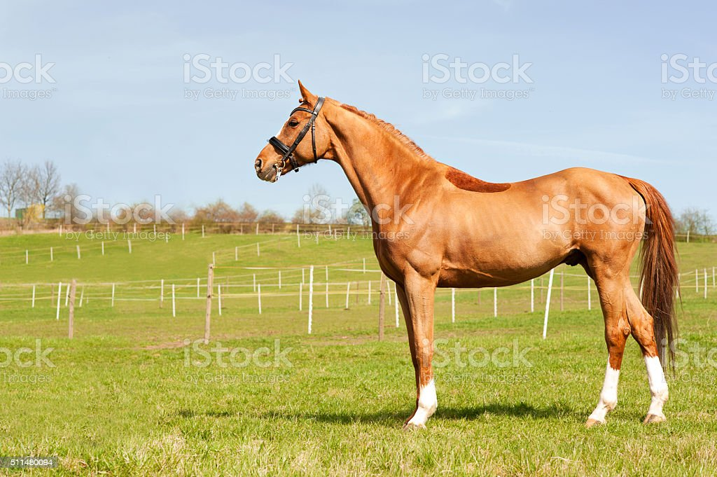 Thoroughbred chestnut standing on pasturage stallion. Multicolored exterior image. stock photo