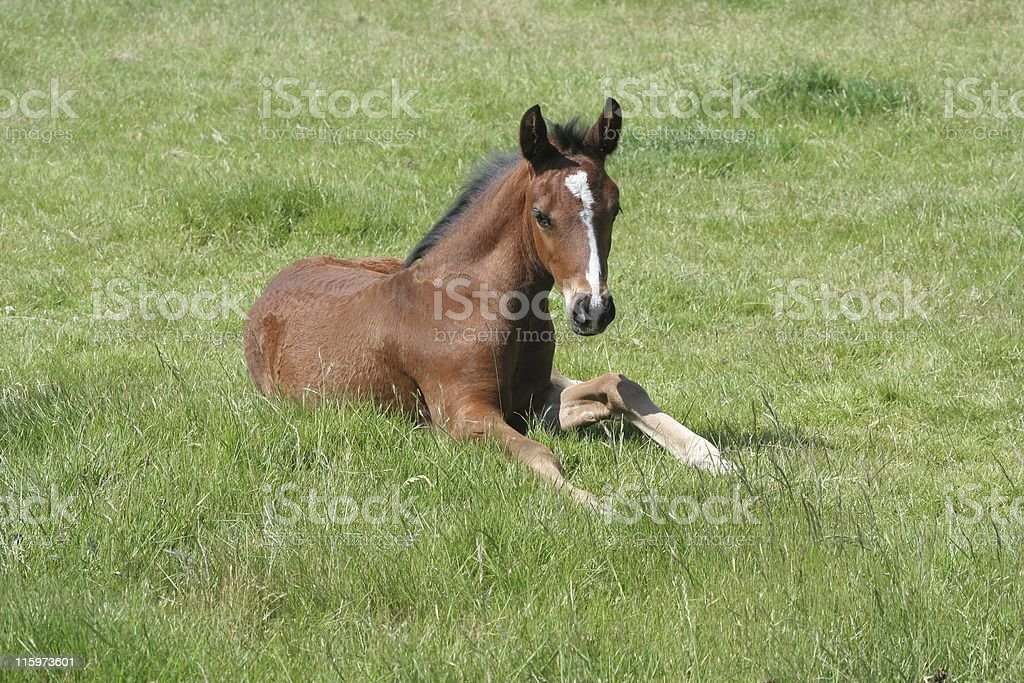 Thoroughbred Foal in Grass royalty-free stock photo