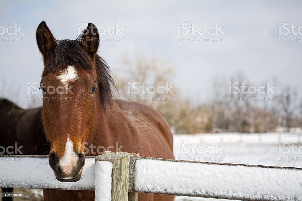 Thoroughbred horse at fence in winter stock photo