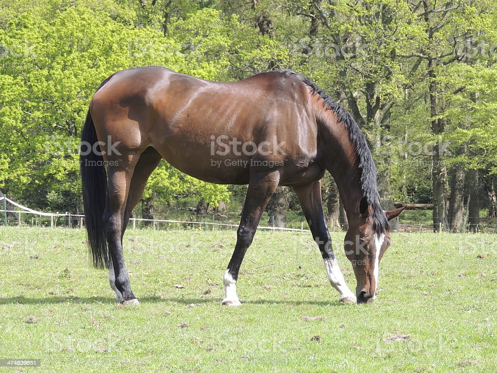Thoroughbred Horse Grazing royalty-free stock photo