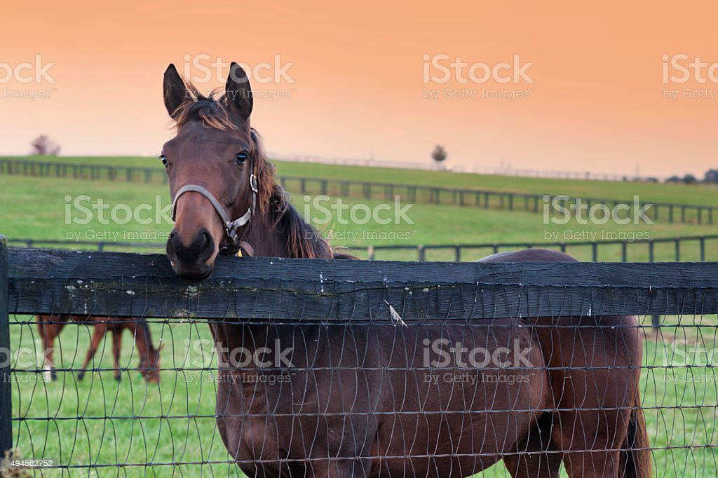 Thoroughbred horse looks over the fence stock photo