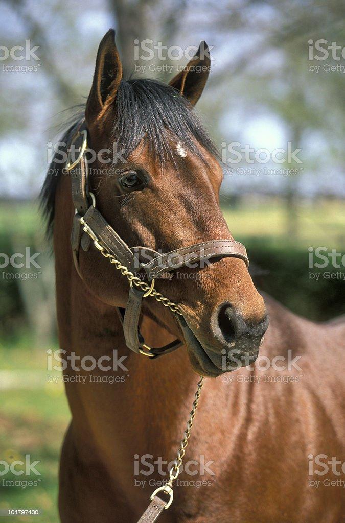 Thoroughbred horse portrait stock photo
