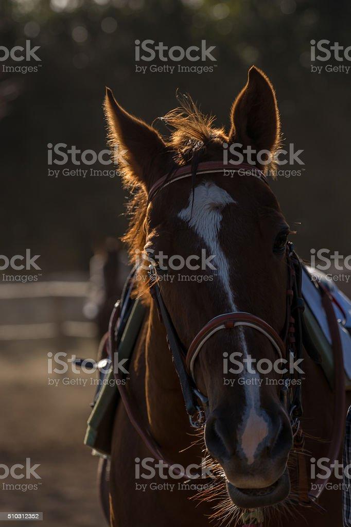 Thoroughbred horse warming up stock photo