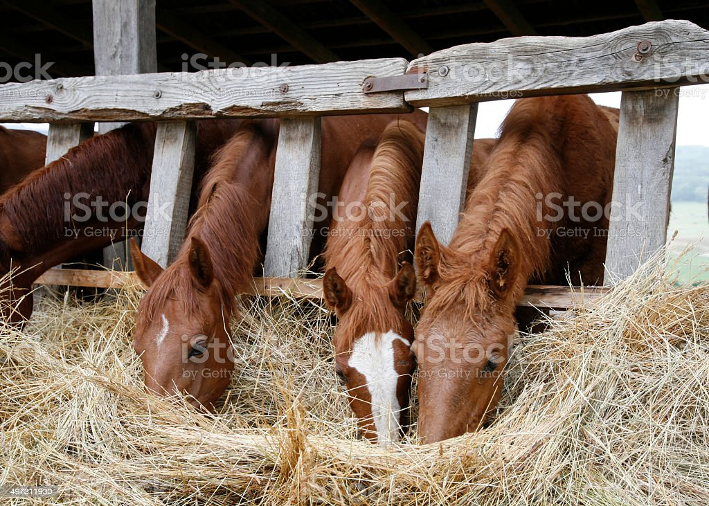 Thoroughbred horses in the paddock eating dry grass stock photo