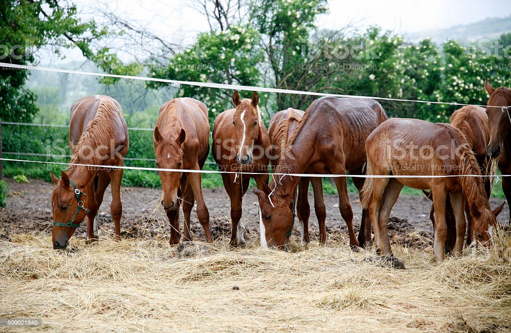 Thoroughbred horses in thecorral eating dry grass stock photo
