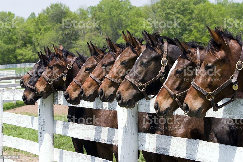 Thoroughbred Horses on Farm stock photo