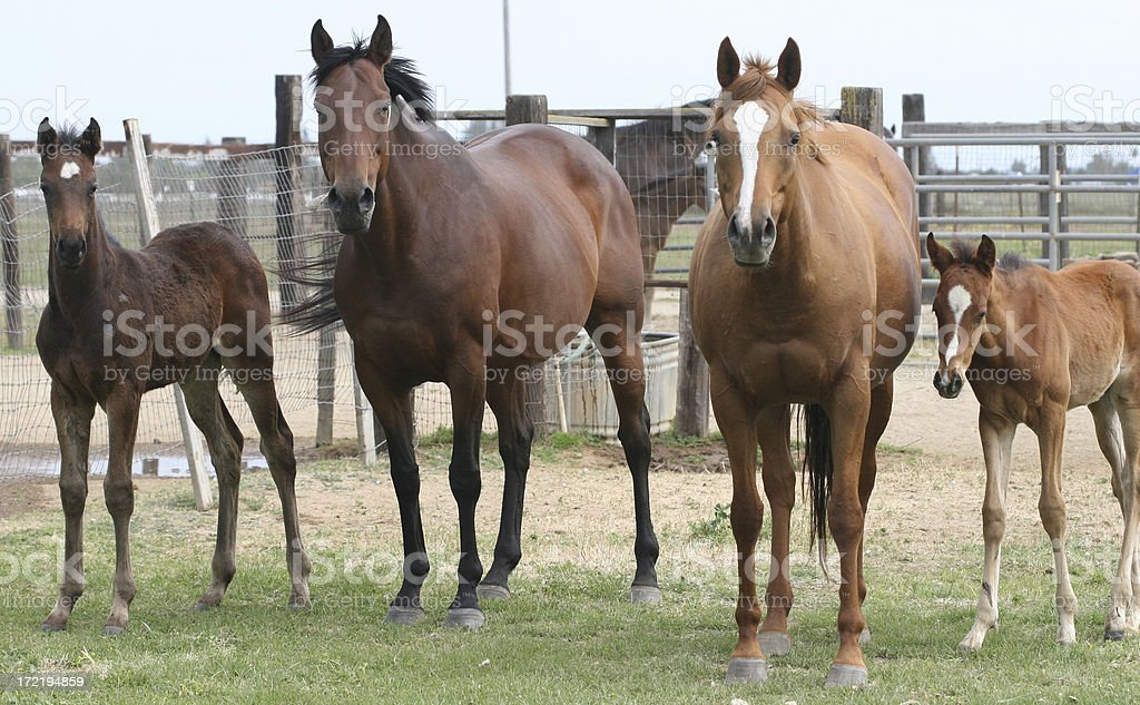 Thoroughbred Mares and Foals stock photo