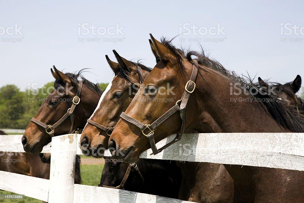 Thoroughbred Racehorses stock photo