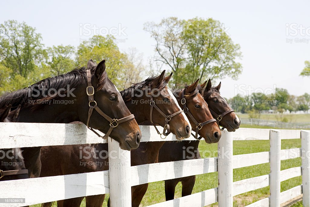 Thoroughbred Racehorses stock photo