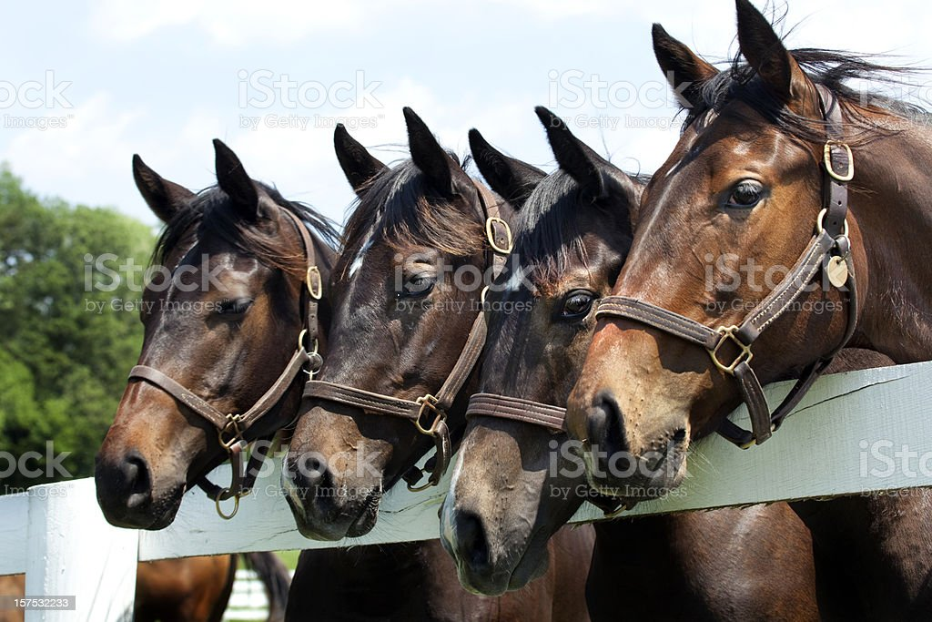 Thoroughbred Racehorses royalty-free stock photo