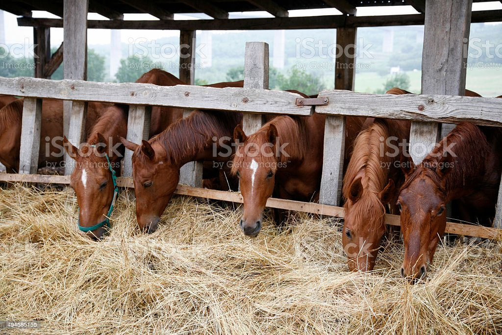 Thoroughbred yearling horses eating hay in stable stock photo