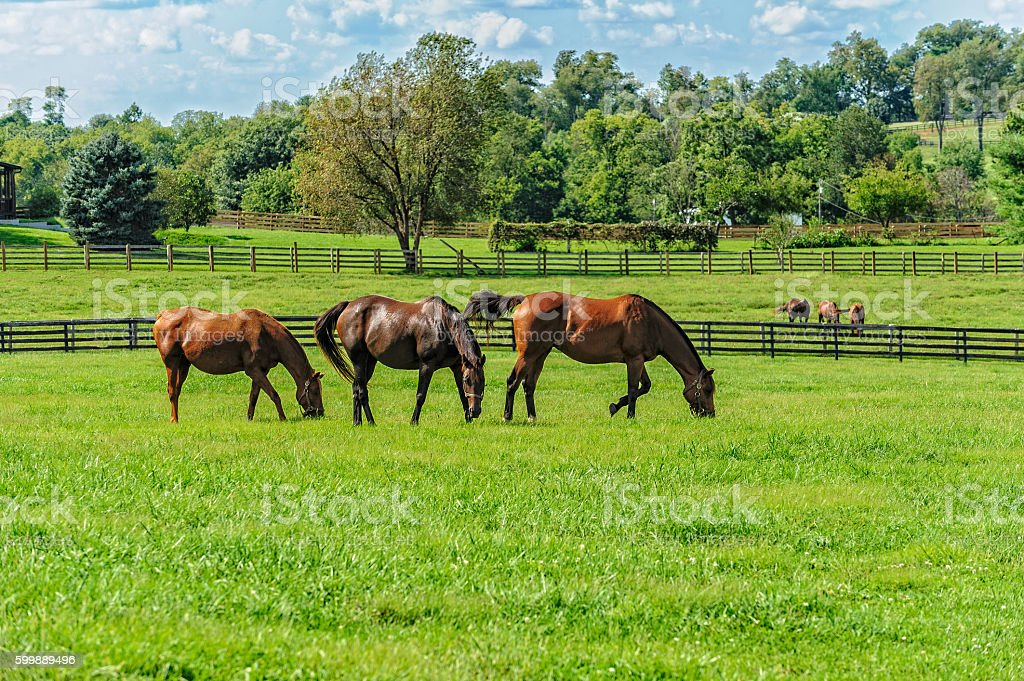 Thoroughbreds stock photo