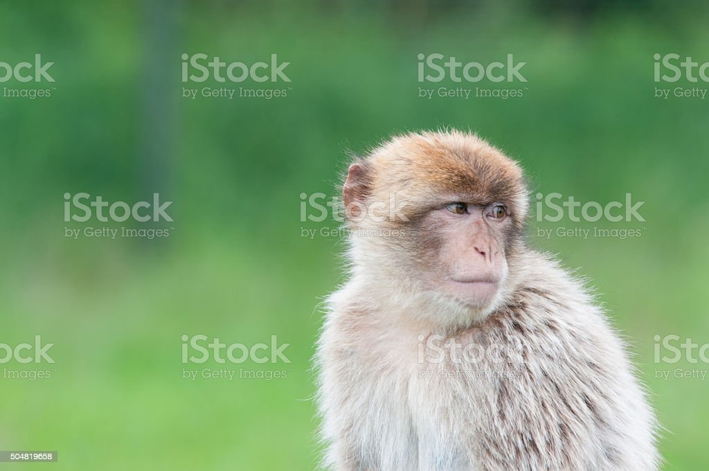 Thoughtful Barbary macaque stock photo