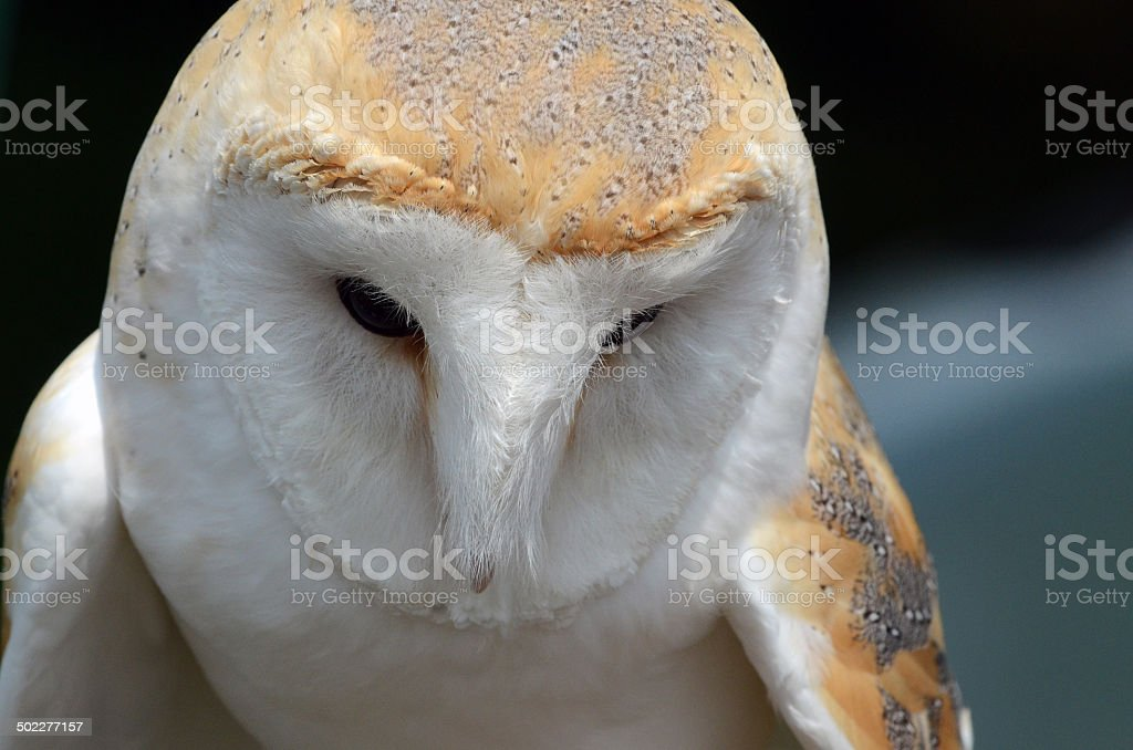 Thoughtful Barn Owl royalty-free stock photo