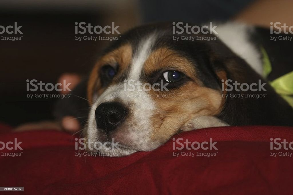 Thoughtful Beagle stock photo