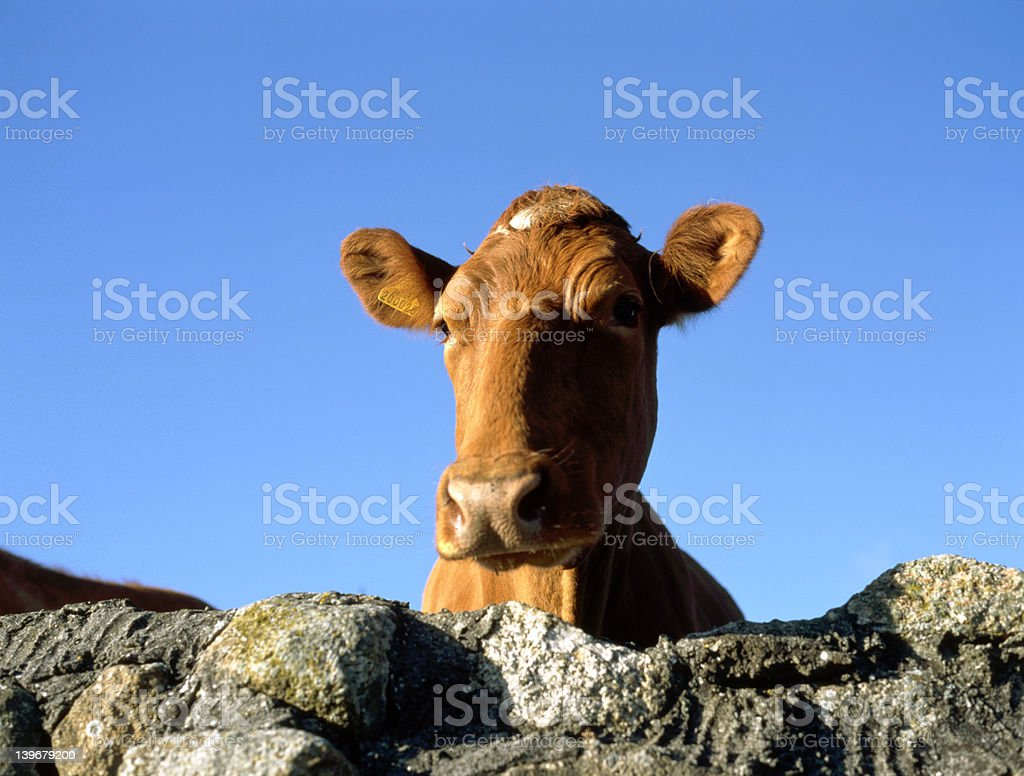 Thoughtful Cow stock photo