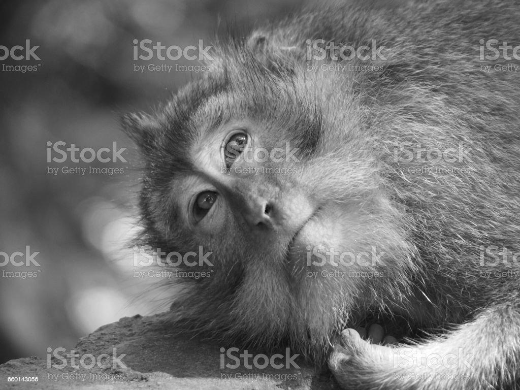 Thoughtful Monkey stock photo