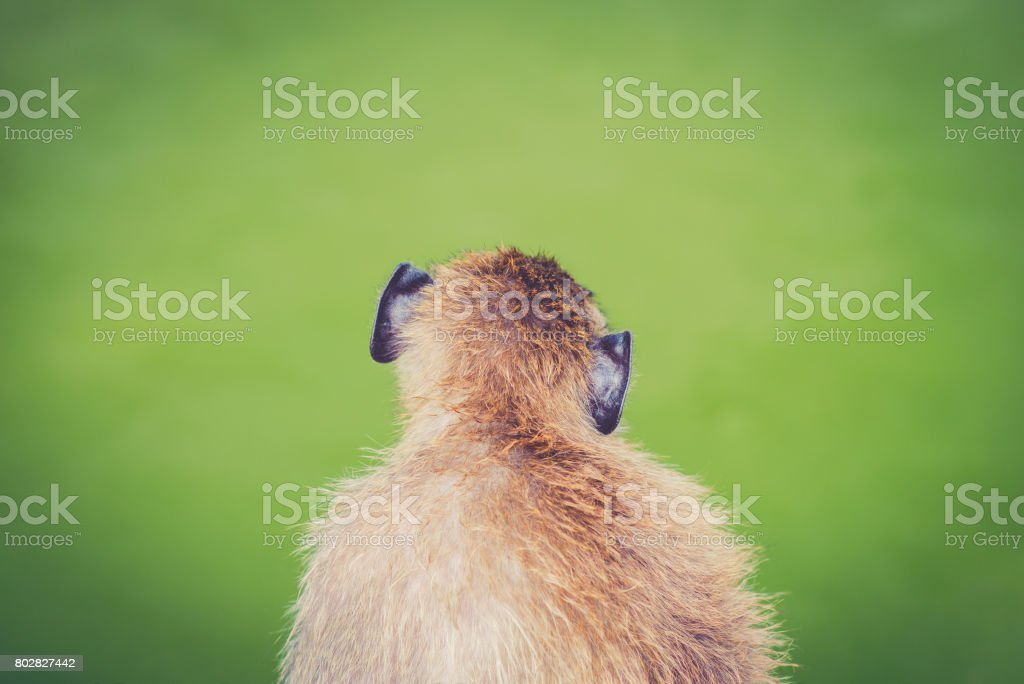 Thoughtful primate stock photo