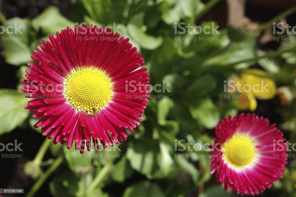 Tausendsch?n Blume stock photo