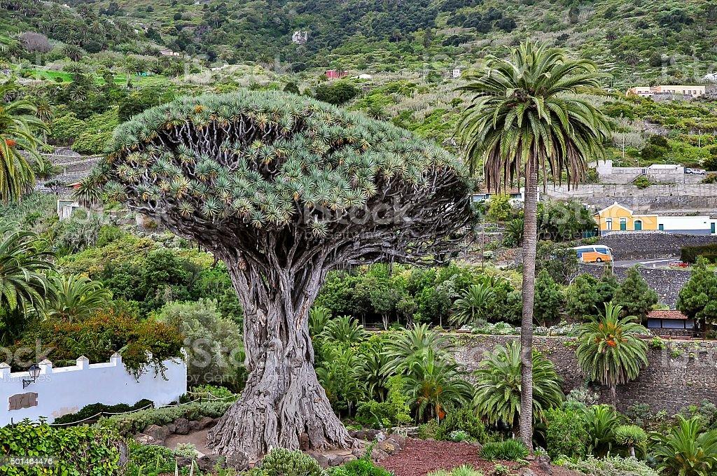 Thousand year old dragon tree - Drago Milenario, Tenerife stock photo