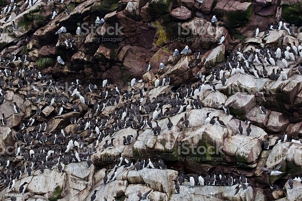 Thousands of Common Murres line ledges of a sea cliff stock photo