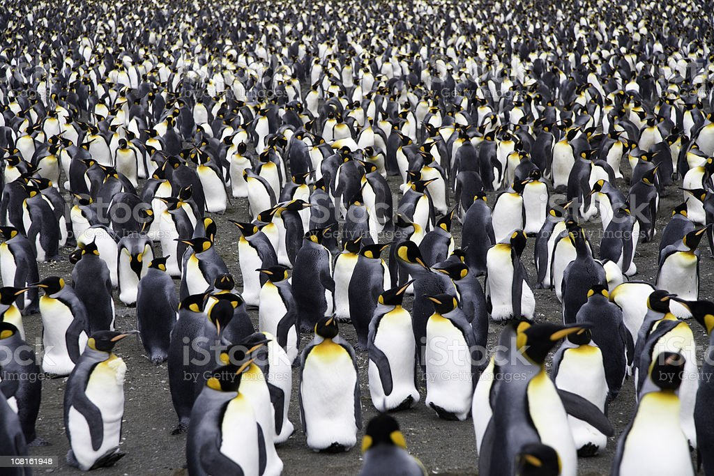 Thousands of King Penguins royalty-free stock photo