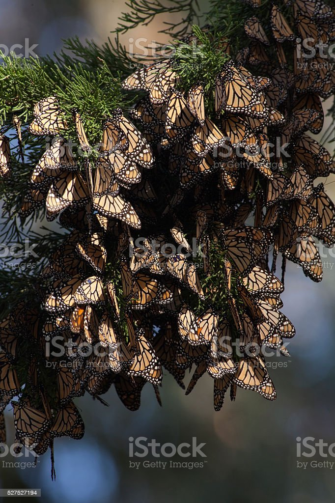Thousands of migrating Monarch butterflies Pismo State Beach California stock photo