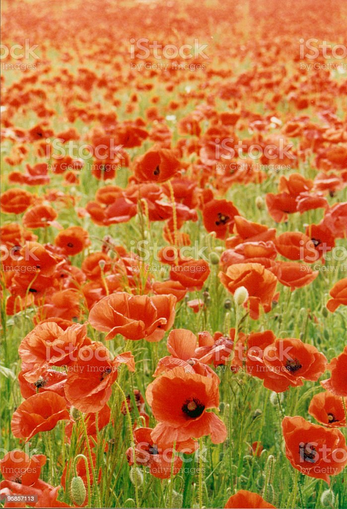 Thousands of poppies royalty-free stock photo