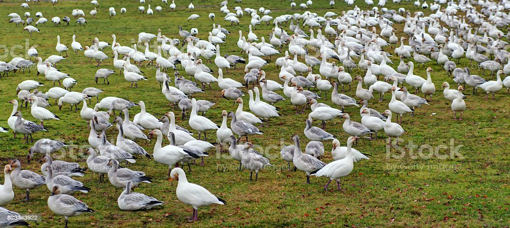 Thousands of snow geese in a park stock photo