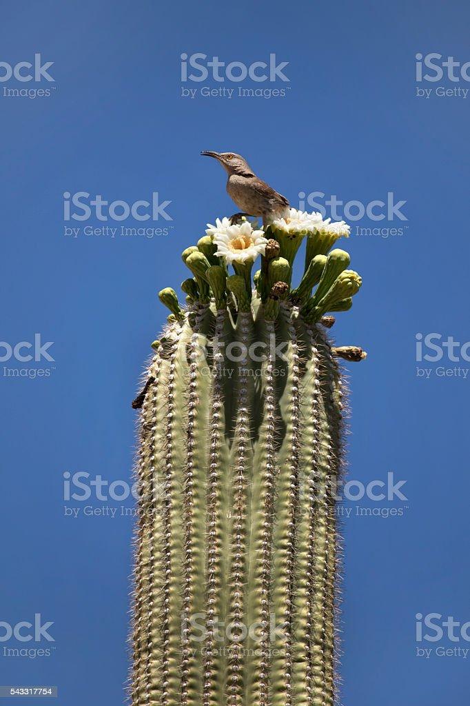 Thrasher bird perched blooming saguaro cactus Arizona stock photo
