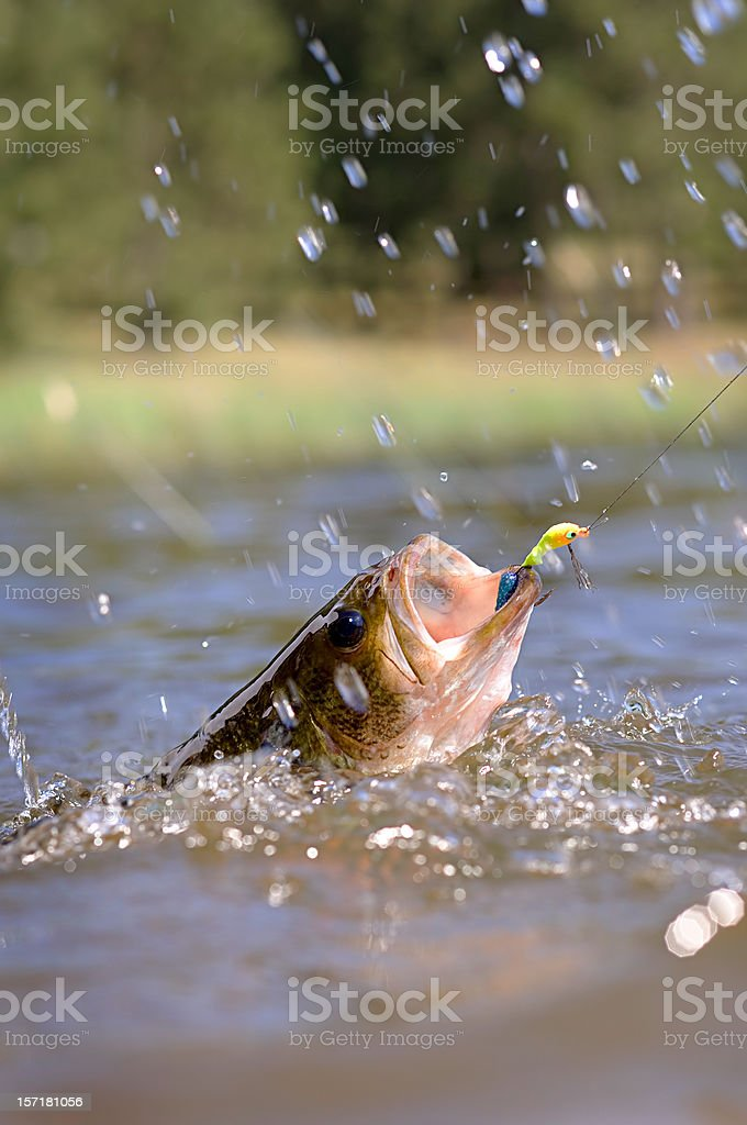 thrashing bass hooked on a jig stock photo