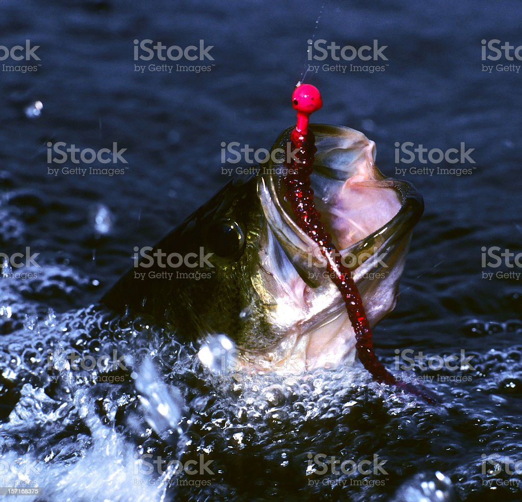thrashing largemouth bass stock photo