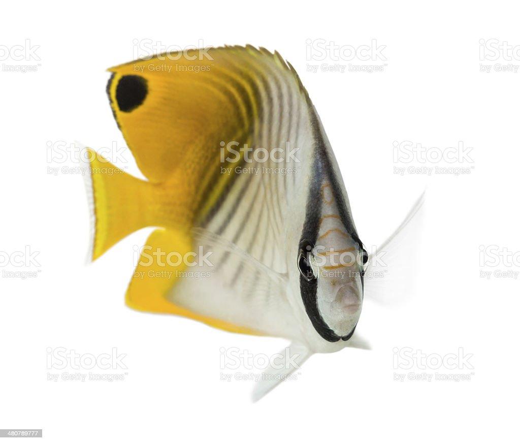 Threadfin Butterflyfish, Chaetodon auriga, isolated on white stock photo