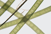 Threads freshwater Spirogyra by microscope