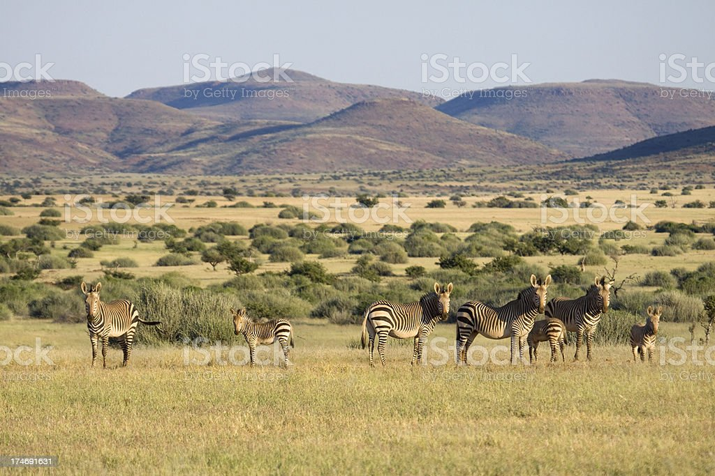Threatened Mountain Zebra Herd, Namibia stock photo