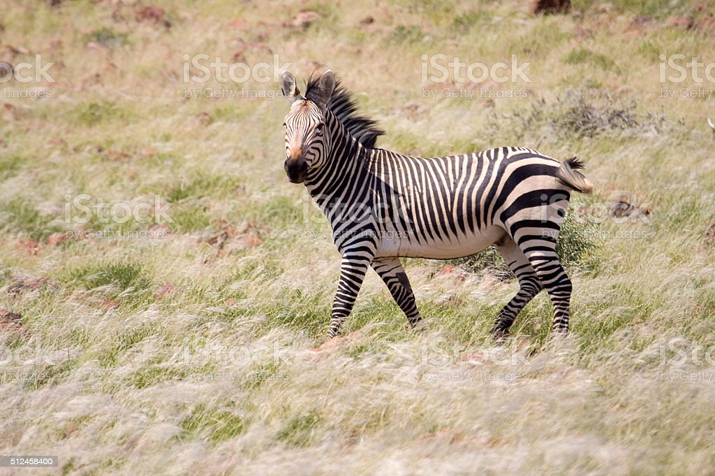 Threatened mountain zebra stallion Palmwag Namibia grasslands stock photo