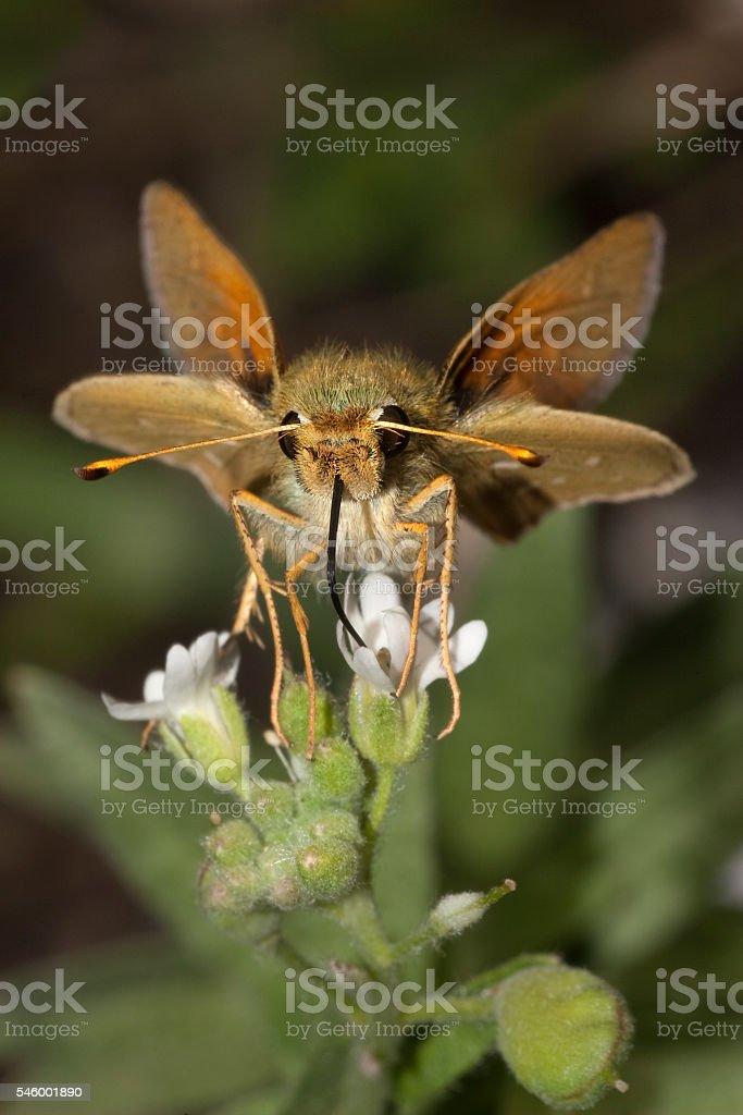 Threatened Pawnee Montane skipper butterfly sips alpine willoweed Colorado stock photo