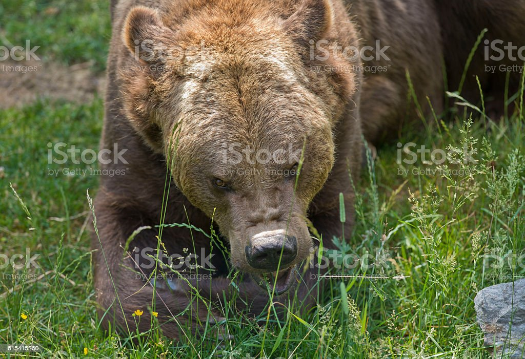 Threatening bear stock photo