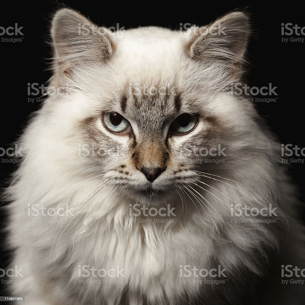 Threatening cat royalty-free stock photo