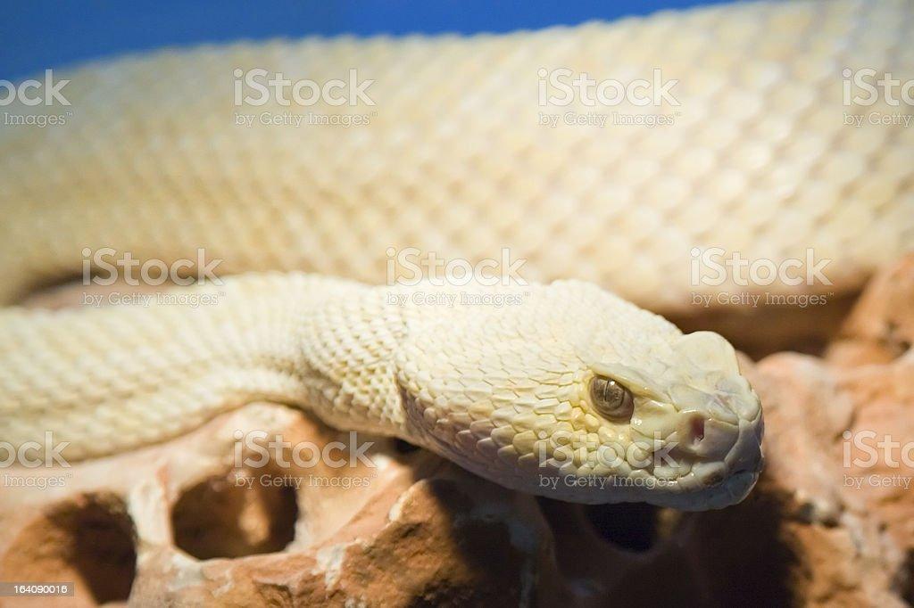 Threatening snake royalty-free stock photo