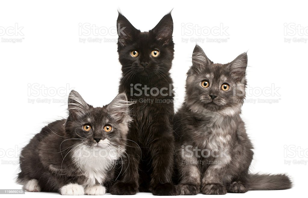 Three 12-week-old Maine Coon kittens sitting stock photo