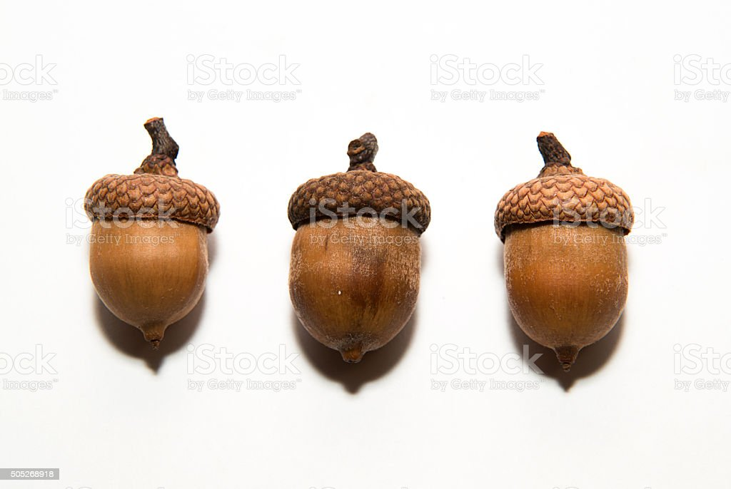 Three acorns with hats on over white stock photo