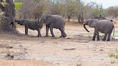 Three African Elephants walking in the Kruger National Park