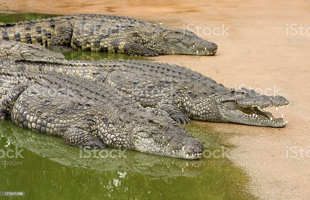 Three African nile crocodiles lying next to water stock photo