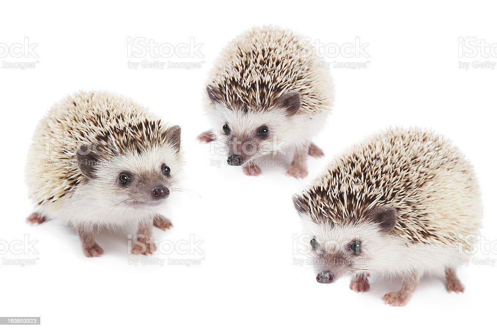 Three African pigmy hedgehogs stock photo