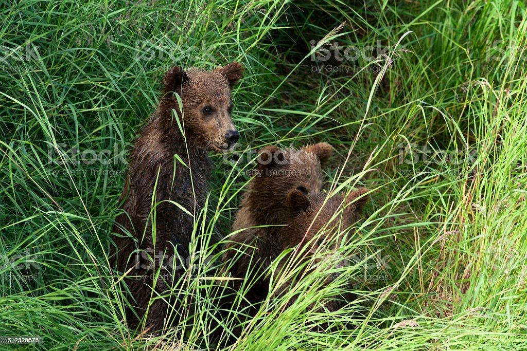 Three Alaskan Brown Bear Cubs royalty-free stock photo